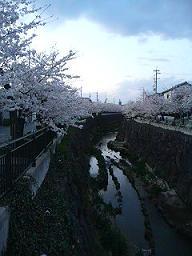 08sakura (1).jpg