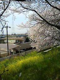 08sakura2 (1).jpg